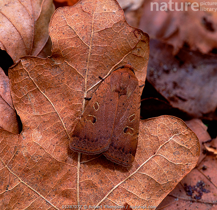 Lesser yellow underwing moth (Noctua comes) camouflaged on leaf litter, Rostrevor Oakwood NNR, County Down, Northern Ireland, UK, July  ,  BROWN,CAMOUFLAGE,EUROPE,INSECTS,INVERTEBRATES,LEAVES,LEPIDOPTERA,MOTHS,Noctuidae,northern ireland,UK,ULSTER,United Kingdom  ,  Robert Thompson