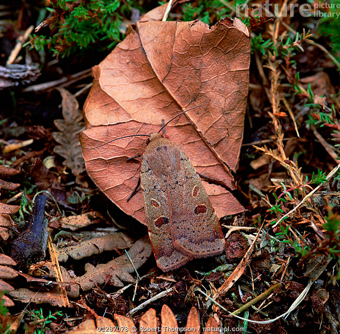 Lesser yellow underwing moth (Noctua comes)  on leaf litter, Rostrevor Oakwood NNR, County Down, Northern Ireland, UK, July  ,  EUROPE,INSECTS,INVERTEBRATES,LEAVES,LEPIDOPTERA,MOTHS,Noctuidae,northern ireland,UK,ULSTER,United Kingdom  ,  Robert Thompson