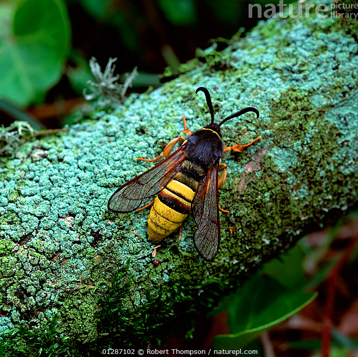Lunar hornet moth (Sesia bembeciformis) resting on branch, Brackagh Moss NNR, County Down, Northern Ireland, UK, May  ,  ARTHROPODS, EUROPE, INSECTS, INVERTEBRATES, LEPIDOPTERA, mimicry, MOTHS, northern-ireland, UK, ULSTER, wasp,United Kingdom,Hymenoptera  ,  Robert Thompson