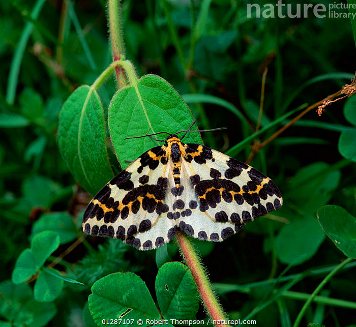 Magpie moth (Abraxas grossulariata) Rostrevor Oakwood NNR, County Down, Northern Ireland, UK, August  ,  black and white,EUROPE,INSECTS,INVERTEBRATES,LEPIDOPTERA,LOOPER MOTHS,MOTHS,northern ireland,SPOTS,SPOTTED,UK,ULSTER,United Kingdom  ,  Robert Thompson