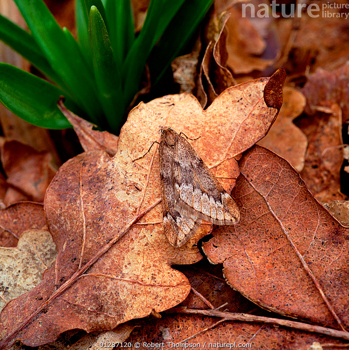 March moth (Alsophila aescularia) on leaf litter, Belvoir Park Forest, Belfast, County Down, Northern Ireland, UK, February  ,  CAMOUFLAGE,EUROPE,GEOMETRIDAE,INSECTS,INVERTEBRATES,LEAVES,LEPIDOPTERA,MOTHS,NORTHERN IRELAND,OAK,QUERCUS,UK,ULSTER,United Kingdom  ,  Robert Thompson