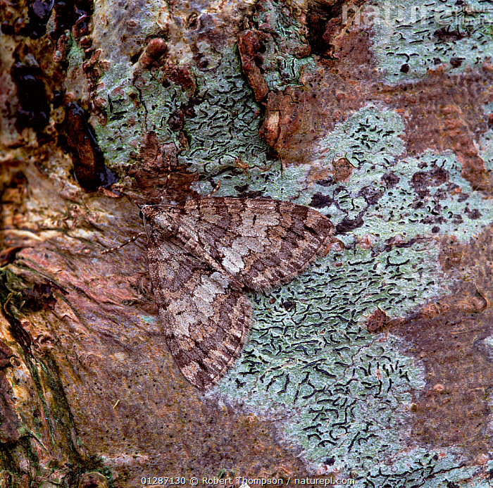 May highflyer moth  (Hydriomena impluviata) camouflaged on tree bark, Moy, County Armagh, Northern Ireland, UK, May  ,  CAMOUFLAGE,EUROPE,GEOMETRIDAE,INSECTS,INVERTEBRATES,LEPIDOPTERA,LICHEN,MOTHS,NORTHERN IRELAND,UK,ULSTER,United Kingdom  ,  Robert Thompson