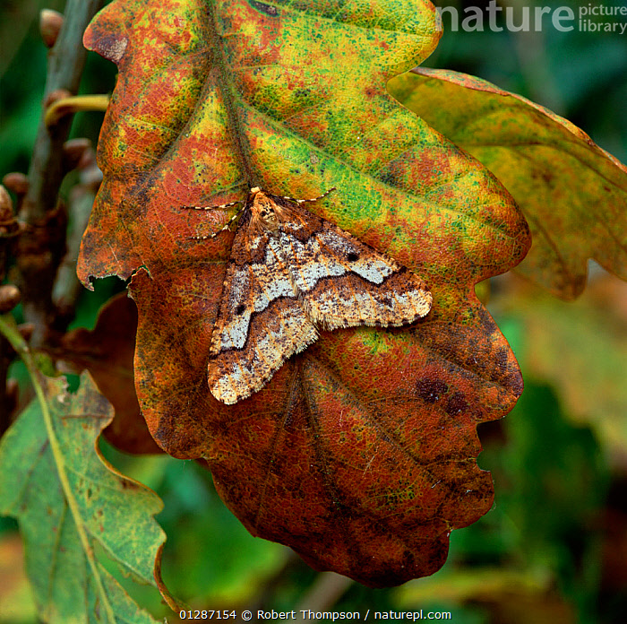 Mottled umber moth (Erannis defoliaria) on autumn leaf, Rehaghy Mountain, County Tyrone, Northern Ireland, UK September  ,  AUTUMN,CAMOUFLAGE,EUROPE,INSECTS,INVERTEBRATES,LEAVES,LEPIDOPTERA,LOOPER MOTHS,MOTHS,NORTHERN IRELAND,UK,ULSTER,United Kingdom  ,  Robert Thompson