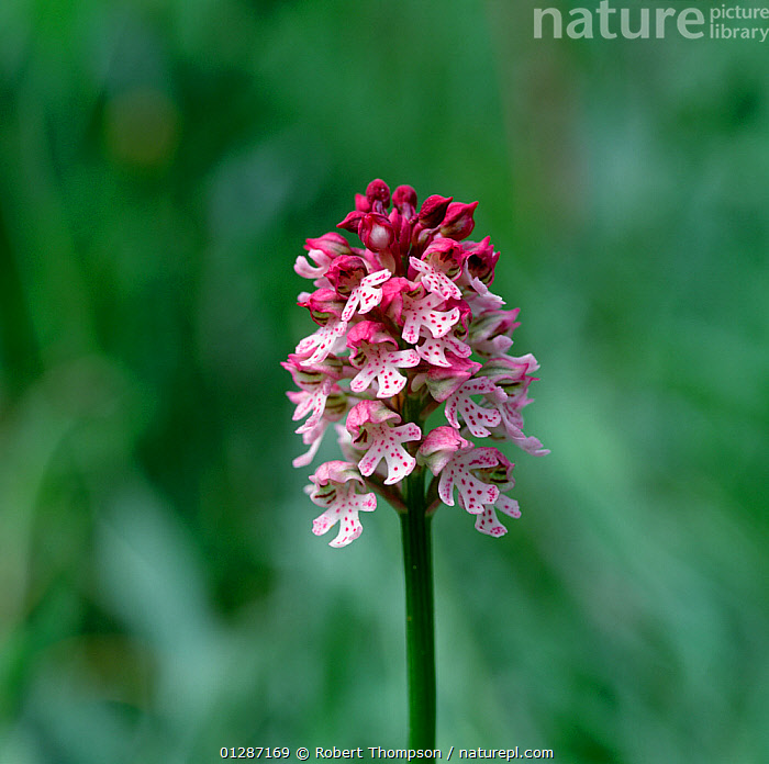 Hybrid orchid (Neotinea conica  x neotinea ustulata) Bugarach, France, May  ,  EUROPE,FLOWERS,FRANCE,HYBRID,MONOCOTYLEDONS,ORCHIDACEAE,ORCHIDS,PINK,PLANTS,VERTICAL  ,  Robert Thompson