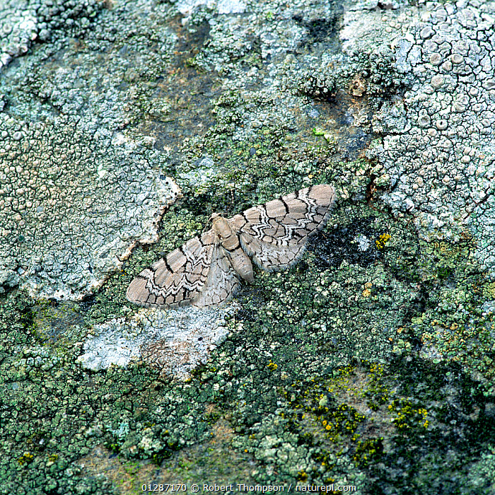 Netted pug moth (Eupithecia venosata venosata) camouflaged on lichen covered rock, Lighthouse Island, Copelands, County Down, Northern Ireland, UK, June  ,  CAMOUFLAGE,EUROPE,GEOMETRIDAE,INSECTS,INVERTEBRATES,LEPIDOPTERA,LICHEN,MOTHS,NORTHERN IRELAND,ROCKS,UK,ULSTER,United Kingdom  ,  Robert Thompson