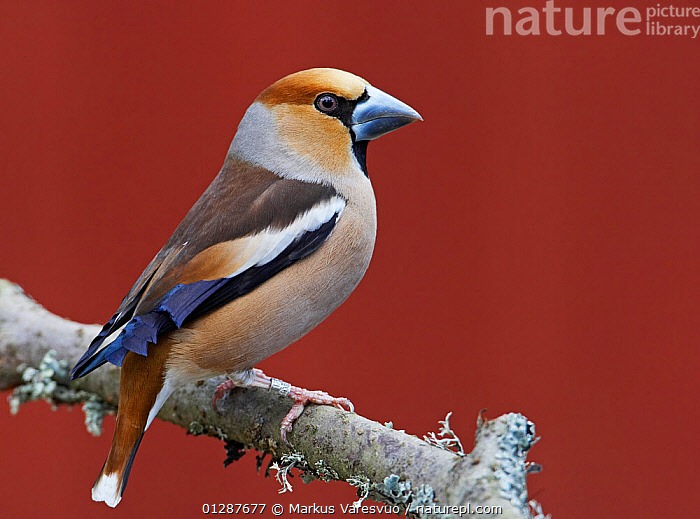 Male Hawfinch (Coccothraustes coccothraustes) perched on branch, Mustio, Finland, April  ,  BIRDS,EUROPE,FINCHES,FINLAND,MALES,SCANDINAVIA,SPRING,VERTEBRATES, Europe  ,  Markus Varesvuo