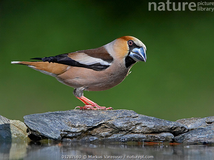 Female Hawfinch (Coccothraustes coccothraustes) perched by water, Hungary, May  ,  BIRDS,EUROPE,FEMALES,FINCHES,VERTEBRATES,WATER  ,  Markus Varesvuo