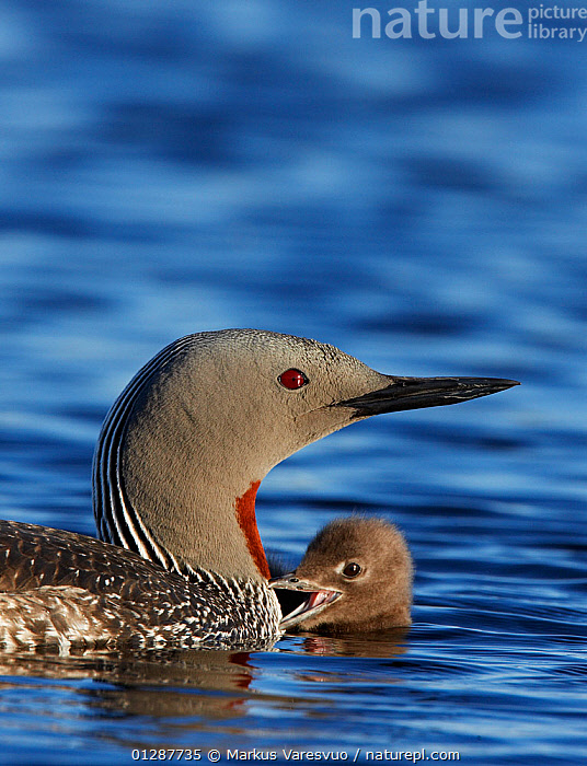 Adult Red-throated Diver (Gavia stellata) on water with chick, Vaala, Finland, June  ,  BABIES,BIRDS,DIVERS,EUROPE,FAMILIES,FINLAND,LAKES,LOON,LOONS,SCANDINAVIA,SUMMER,VERTEBRATES,VERTICAL,WATER,WATERFOWL, Europe  ,  Markus Varesvuo