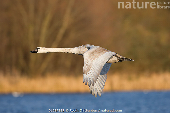 Mute swan (Cygnus olor) flying low over water, with trees in background, Whitlingham CP, Norfolk, UK.  ,  BIRDS,EUROPE,FLYING,LAKES,PROFILE,RIVERS,SWANS,UK,VERTEBRATES,WATER,WATERFOWL, United Kingdom,Wildfowl  ,  Robin Chittenden