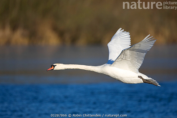 Mute swan (Cygnus olor) in flight over water with greenery in the background, Whitlingham CP, Norfolk, UK. January  ,  BIRDS,EUROPE,FLYING,LAKES,PROFILE,RIVERS,SWANS,UK,VERTEBRATES,WATER,WATERFOWL,WINGS, United Kingdom,Wildfowl  ,  Robin Chittenden