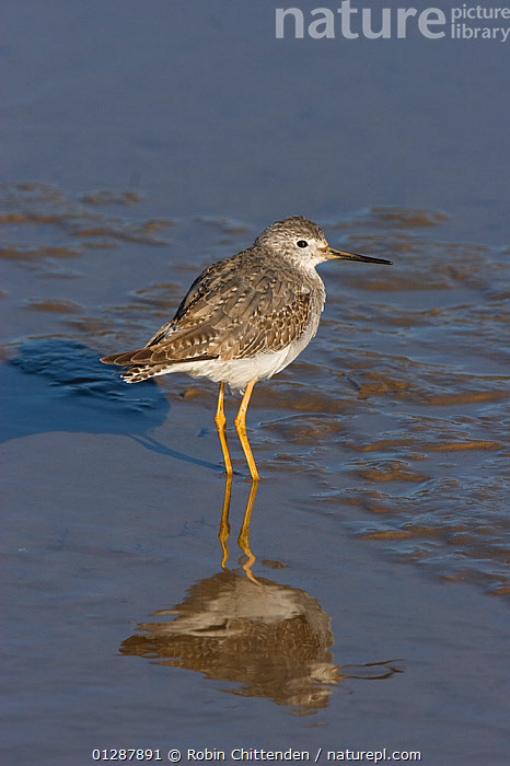 Lesser yellowlegs (Tringa flavipes), wading in shallow water during its first winter, Thornham, Norfolk, UK.  ,  BIRDS,COASTS,EUROPE,JUVENILE,REFLECTIONS,SANDPIPERS,UK,VERTEBRATES,VERTICAL,WADERS,WATER,YOUNG, United Kingdom  ,  Robin Chittenden
