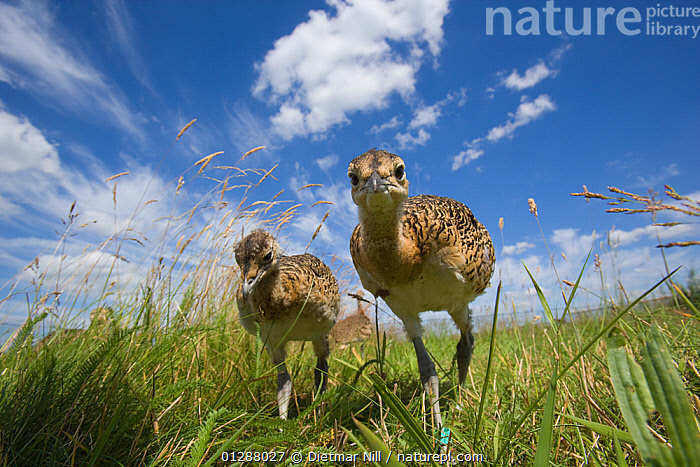 Great Bustard (otis tarda) two chicks, Germany, vulnerable species  ,  BIRDS,BUSTARDS,CATALOGUE2,chick,CHICKS,cloudy,curiosity,ENDANGERED,EUROPE,fledglings,front view,full length,GERMANY,GRASSES,GRASSLAND,JUVENILE,looking at camera,low angle shots,nature,Nobody,outdoors,SKY,SUMMER,two,two animals,VERTEBRATES,vulnerable species,WILDLIFE  ,  Dietmar Nill
