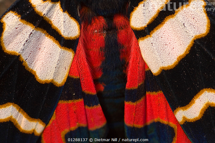 Hebe tiger moth (Arctia festiva) close up of wings, Germany  ,  animal marking,ARCTIIDAE,beauty in nature,bright colour,CATALOGUE2,close up,CLOSE-UPS,COLOURFUL,DRAMATIC,EUROPE,full frame,GERMANY,INSECTS,INVERTEBRATES,LEPIDOPTERA,Nobody,NOCTUID-MOTHS,one animal,patterned,PATTERNS,RED,symmerty,WHITE,WINGS,Big Cats  ,  Dietmar Nill