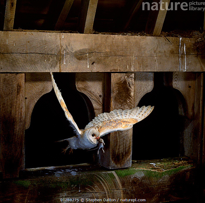 Barn owl (Tyto alba) flying into barn carrying rodent prey. England, UK.  ,  barns,BEHAVIOUR,BIRDS,BIRDS OF PREY,EUROPE,FLYING,HUNTING,INDOORS,MICE,OWLS,UK,VERTEBRATES, United Kingdom  ,  Stephen Dalton