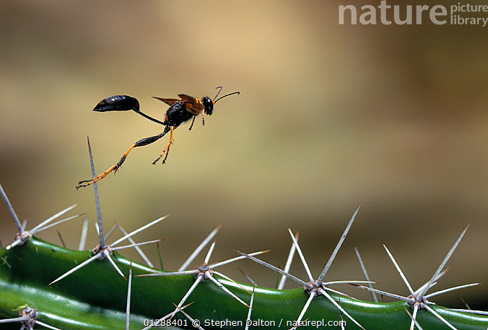 Mud dauber wasp (Sceliphron caementarium) flying over cactus spines, Everglades NP, Florida, USA  ,  CACTI,CACTUS,CATALOGUE2,close up,CLOSE UPS,CUTE,danger,Everglades,Florida,FLYING,full length,HUNTING WASPS,HYMENOPTERA,INSECTS,INVERTEBRATES,JUMPING,national park,Nobody,NP,on the move,one animal,outdoors,plant spine,risk,side view,THORNS,Threats,USA,WASPS,Plants,North America  ,  Stephen Dalton