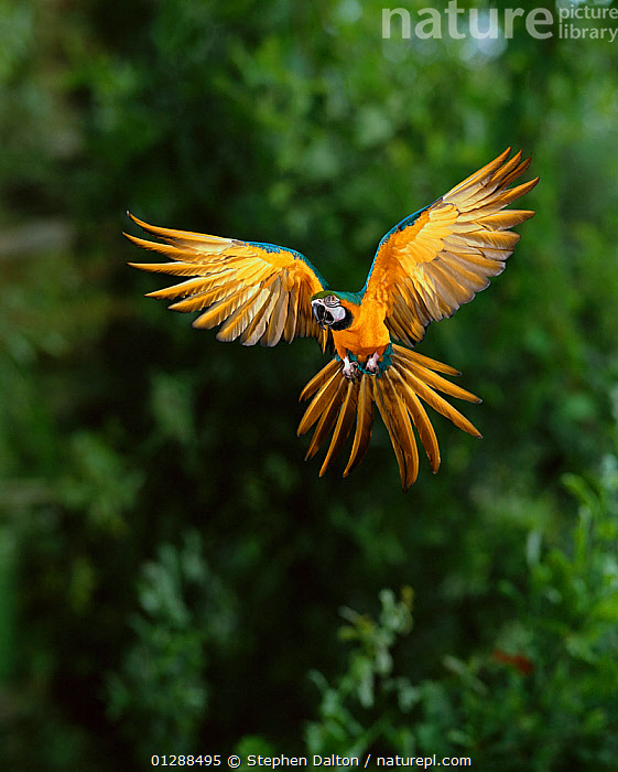 Blue and yellow macaw (Ara ararauna) in flight, South America, controlled conditions, BIRDS,blurred motion,catalogue5,controlled conditions,day,FEATHERS,flight,FLYING,front view,full length,LANDING,MACAWS,majestic,mid air,MOVEMENT,Nobody,one animal,outdoors,PARROTS,south america,SOUTH AMERICA,TROPICAL RAINFOREST,VERTEBRATES,VERTICAL,wigs spread,wingspan, Stephen Dalton
