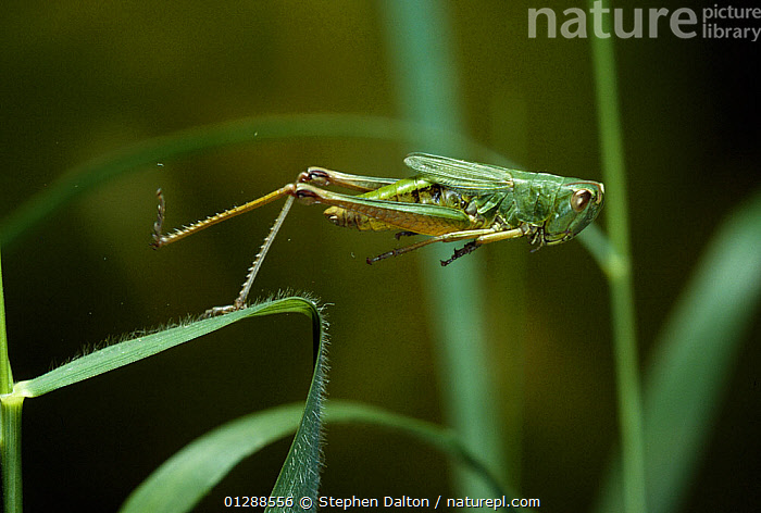 Meadow grasshopper (Chorthippus parallelus) instant of take-off, UK  ,  ACTION,EUROPE,GRASSHOPPERS,INSECTS,INVERTEBRATES,MOVEMENT,ORTHOPTERA,SHORT HORNED GRASSHOPPERS,TAKE OFF,UK, United Kingdom  ,  Stephen Dalton