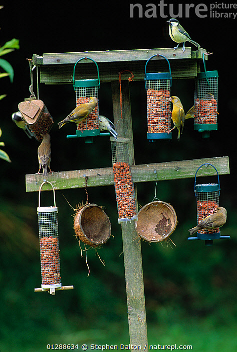 Collection of bird feeders in garden, with Greenfinches (Carduelis chloris) and Great tits (Parus major) UK  ,  bird feeder,birdfood,BIRDS,CATALOGUE2,Coconut,ENGLAND,EUROPE,FEEDERS,FEEDING,FINCHES,FLOCKS,garden,GARDENS,Great tit,group of animals,GROUPS,hanging,medium group of animals,MIXED FLOCK,MIXED SPECIES,nature,Nobody,outdoors,Parus major,peanuts,TITS,UK,URBAN,VERTEBRATES,VERTICAL,WILDLIFE,Wood,WOODEN,United Kingdom  ,  Stephen Dalton