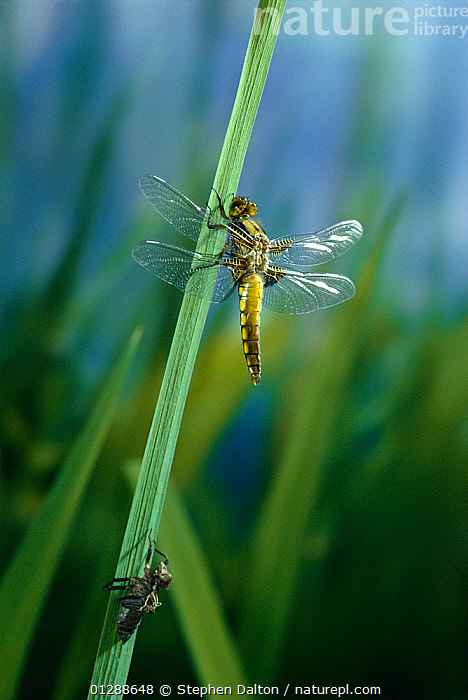 Broad bodied chaser dragonfly (Libellula depressa) recently emerged from larval case, UK  ,  ARTHROPODS,blade of grass,CATALOGUE2,close up,CLOSE UPS,DRAGONFLIES,emergence,EUROPE,INSECTS,INVERTEBRATES,larval case,METAMORPHOSIS,nature,new beginnings,new life,Nobody,ODONATA,one animal,outdoors,timid,transformation,transparency,UK,VERTICAL,WILDLIFE,WINGS,Growth,United Kingdom,Concepts  ,  Stephen Dalton