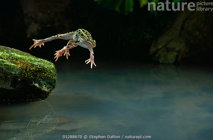Leopard frog (Rana pipiens) jumping from rock into water, controlled conditions  ,  ACTION, AMPHIBIANS, Anura, BEHAVIOUR, FROGS, highspeed, high-speed, JUMPING, LEAPING, VERTEBRATES, WATER  ,  Stephen Dalton