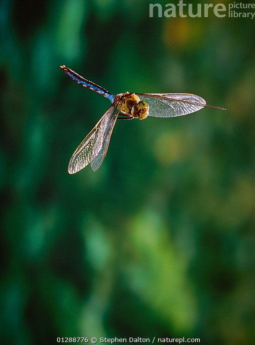 Emperor dragonfly (Anax imperator) in flight, male, UK  ,  animal wing,ARTHROPODS,carefree,CATALOGUE2,close up,CLOSE UPS,direction,DRAGONFLIES,EUROPE,FLYING,highspeed,INSECTS,INVERTEBRATES,male animal,MALES,Nobody,ODONATA,one animal,one the move,outdoors,transparency,UK,WILDLIFE,winged,WINGS,United Kingdom  ,  Stephen Dalton