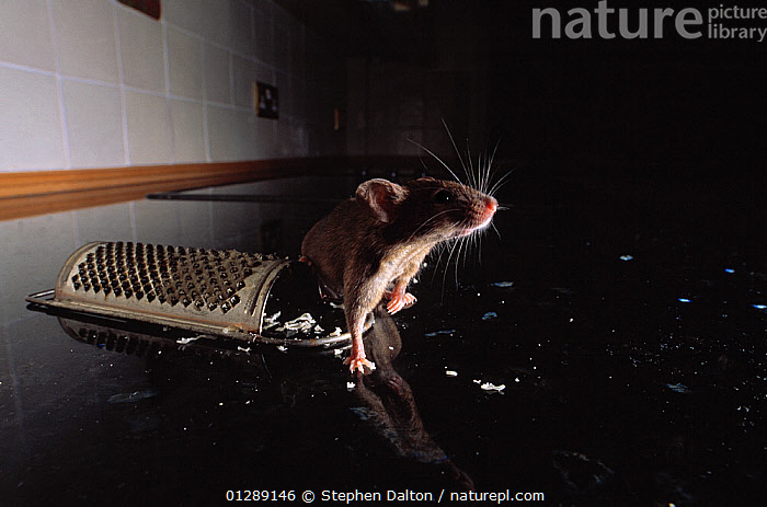 Brown rat (Rattus norvegicus) and cheese grater, UK, controlled conditions  ,  BACKLIT,BEHAVIOUR,CHEESE,EUROPE,FEEDING,FOOD,INDOORS,MAMMALS,PESTS,RATS,RODENTS,SNIFFING,UK,VERTEBRATES,United Kingdom,Muridae , CAPTIVE  ,  Stephen Dalton