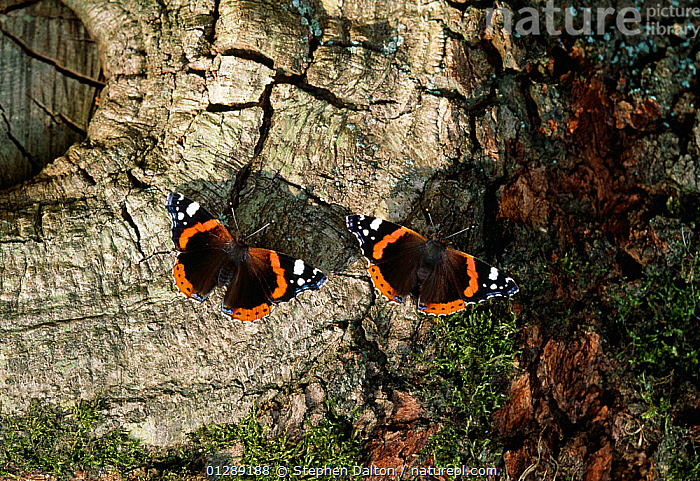 Red admiral butterflies (Vanessa atalanta) on oak tree, sipping oak sap, UK  ,  ARTHROPODS,BARK,BEHAVIOUR,BUTTERFLIES,EUROPE,FEEDING,INSECTS,INVERTEBRATES,LEPIDOPTERA,TRUNKS,TWO,UK,Plants,United Kingdom  ,  Stephen Dalton