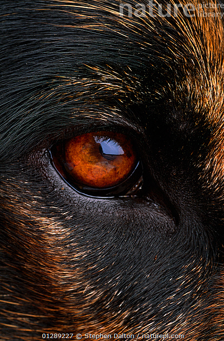Close up of eye of Domestic dog, Alsatian or German shepherd breed, UK, animal eye,BROWN,CATALOGUE2,close up,CLOSE UPS,Dog,DOGS,domestic animal,eyeball,EYES,FUR,German Shepherd,one animal,orange colour,PETS,reflection,staring,UK,VERTEBRATES,VERTICAL,Europe,United Kingdom,Canids, Stephen Dalton