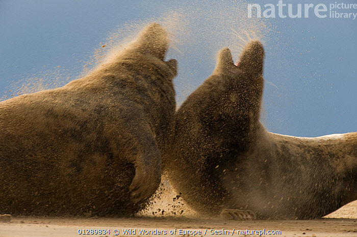 Two Grey seals (Halichoerus grypus) aggressive behaviour, wind blowing sand, Donna Nook, Lincolnshire, UK, November 2008, EUROPE,AGGRESSION,BEACHES,BEHAVIOUR,CARNIVORES,COASTS,ENERGY,ENGLAND,FIGHTING,LAURENT GESLIN,MAMMALS,MARINE,MOVEMENT,NATGEO,PINNIPEDS,SAND,SEALS,TWO,UK,VERTEBRATES,Concepts,WWE CARNIVORES , United Kingdom, CARNIVORES , United Kingdom, Wild Wonders of Europe / Geslin