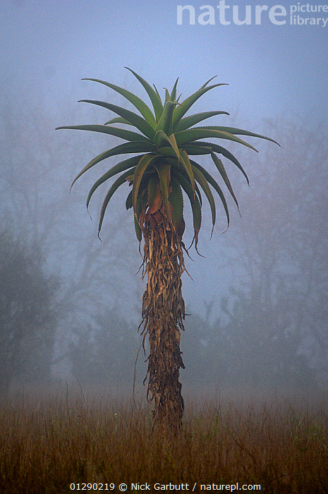 Aloe tree at dawn. Anjampolo Forest, southern Madagascar., AFRICA,ALONE,Anjampolo Forest,bad weather,CATALOGUE2,DAWN,Field,LILIACEAE,MADAGASCAR,meteorology,MIST,MONOCOTYLEDONS,nature,Nobody,one object,outdoors,PLANTS,TREES,TROPICAL RAINFOREST,VERTICAL, Nick Garbutt