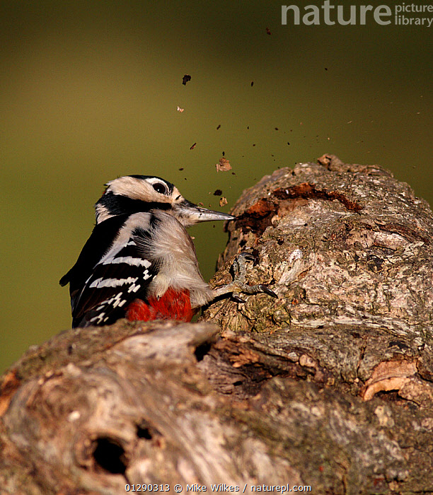 Great spotted woodpecker (Dendrocopos major) pecking at bark, searching for bugs under the bark, Warwickshire, UK  ,  ACTION,BEHAVIOUR,BIRDS,DIGGING,DRILLING,EUROPE,FEEDING,UK,VERTEBRATES,WOODPECKERS, United Kingdom  ,  Mike Wilkes