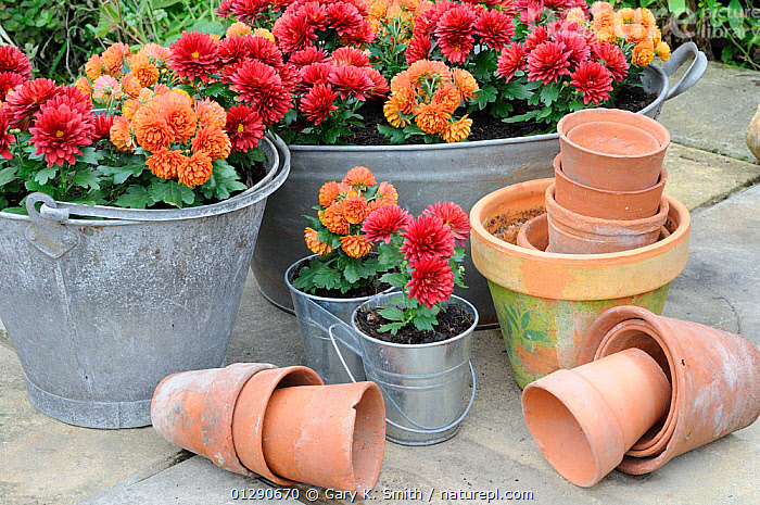 Miniature cultivated Autumn chrysanthemums, planted in  galvanised containers on garden patio, Norfolk, UK, October, ASTERACEAE,COLOURFUL,COMPOSITAE,DICOTYLEDONS,ENGLAND,EUROPE,FLOWER POTS,GARDENS,PLANTS,UK,United Kingdom, Gary K. Smith