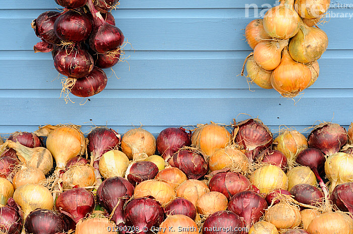 Home grown Onions ( Allium cepa) varieties 'Red baron', and 'new fen globe' drying off for winter storage, UK, August, ENGLAND,EUROPE,GARDENING,HANGING,LILIACEAE,MONOCOTYLEDONS,PLANTS,RED,STORAGE,UK,VEGETABLES,United Kingdom, Gary K. Smith