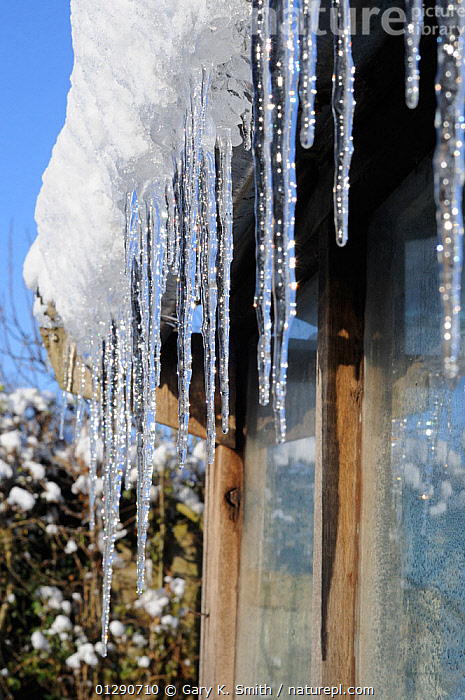 Icicles hanging from on greenhouse roof, Norfolk, UK, December 2009, ENGLAND,EUROPE,GARDENS,ICE,SNOW,UK,VERTICAL,WINTER,United Kingdom, Gary K. Smith
