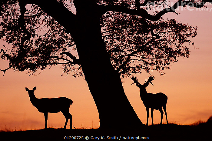 Red Deer stag and hind (Cervus elaphus) silhouetted at sunset, Holkham Park, Norfolk, UK, December, ARTIODACTYLA,CERVIDS,DEER,DUSK,ENGLAND,EUROPE,LANDSCAPES,MALE FEMALE PAIR,MAMMALS,SILHOUETTES,SUNSET,UK,VERTEBRATES,WINTER,United Kingdom, Gary K. Smith