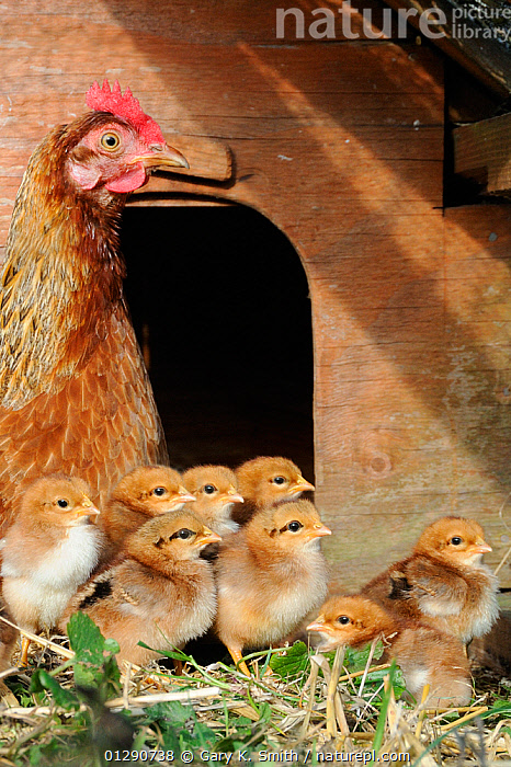Domestic Welsummers bantam chicken (Gallus gallus domesticus) with one-day chicks, Norfolk, UK September, animal family,AUTUMN,bantam chicken,BIRDS,CATALOGUE2,chick,chicken coup,CHICKS,CUTE,ENGLAND,EUROPE,farmyard,female animal,free range,GALLIFORMES,gallus gallus domesticus,GAME BIRDS,group of animals,hen,henhouse,hens,LIVESTOCK,medium group of animals,MOTHER BABY,Nobody,outdoors,PARENTAL,POULTRY,protection,sunlight,UK,VERTEBRATES,VERTICAL,WALKING,young animal,United Kingdom, Gary K. Smith
