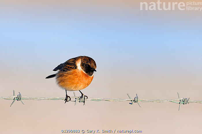 Stonechat (Saxicola torquatus rubicola) male perched on barbed wire, Norfolk, UK, January, animal marking,animal welfare,barbed wire,BIRDS,CATALOGUE2,chats,close up,CLOSE UPS,CUTE,EUROPE,front view,full length,male animal,MALES,nature,Nobody,Norfolk,one animal,orange colour,outdoors,Perching,risk,SAXICOLA RUBICOLA,UK,VERTEBRATES,WILDLIFE,WINTER,wire,United Kingdom, Gary K. Smith