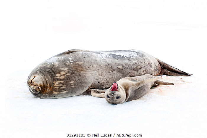 Weddell seal {Leptonychotes weddellii} mother with pup on ice, pup yawning, Antarctica  ,  animal family,animals in the wild,ANTARCTICA,BABIES,CATALOGUE2,CUTE,FAMILIES,female animal,FEMALES,full length,ICE,lying on ground,MAMMALS,mother animal,MOTHER BABY,MOUTHS,nature,Nobody,outdoors,PARENTAL,PINNIPEDS,playful,seal pup,SEALS,side by side,sleepy,SNOW,TEETH,two animals,VERTEBRATES,WHITE,white background,WILDLIFE,yawning,CARNIVORES  ,  Neil Lucas