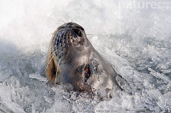 Weddell seal (Leptonychotes weddellii) face emerging through sea ice, Ross Sea, Antarctica, November 2008  ,  animal face,ANTARCTICA,BEHAVIOUR,CARNIVORES,CATALOGUE2,close up,CLOSE UPS,emergence,FACES,ICE,ice hole,MAMMALS,MARINE,nature,Nobody,NOSES,one animal,outdoors,PINNIPEDS,ROSS SEA,sea,sea ice,SEALIFE,SEALS,snout,surfacing,survival,VERTEBRATES,whiskers,WILDLIFE,WINTER  ,  Neil Lucas