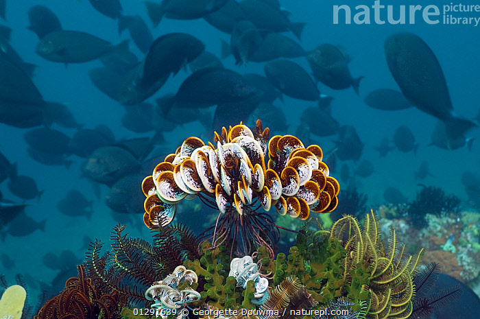 Featherstar (Crinoidea) on coral with shoal of Surgeonfish swimming in the background, Moto Mount, Indonesia  ,  CATALOGUE2,Coral,CRINOIDEA,ECHINODERMS,FEATHER STARS,FISH,GROUPS,INDONESIA,INDO PACIFIC,INVERTEBRATES,large group of animals,MARINE,Moto Mount,nature,Nobody,plant,school,SEALIFE,shoal of fish,SILHOUETTES,SOUTH EAST ASIA,SURGEONFISH,SWIMMING,TROPICAL,UNDERWATER,WILDLIFE,SOUTH-EAST-ASIA,Asia  ,  Georgette Douwma