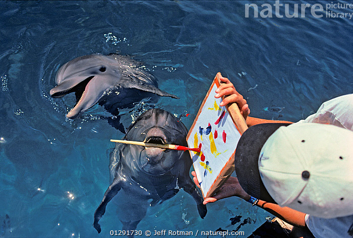 Bottlenose Dolphin (Tursiops truncatus) painting with paintbrush, dolphin trainer holds the artwork, Dolphin Reef, Eilat, Israel, Red Sea., ART,CETACEANS,COMMUNICATION,DOLPHINS,EDUCATION,FRIENDSHIP,INTELLIGENCE,INTERACTION,ISRAEL,LEARNING,MAMMALS,MARINE,MIDDLE EAST,PAINTING,PLAY,RED SEA,SURFACE,TEACHING,THERAPISTS,THERAPY,VERTEBRATES,WOMAN,Concepts,MIDDLE-EAST,MAINTENANCE, Jeff Rotman