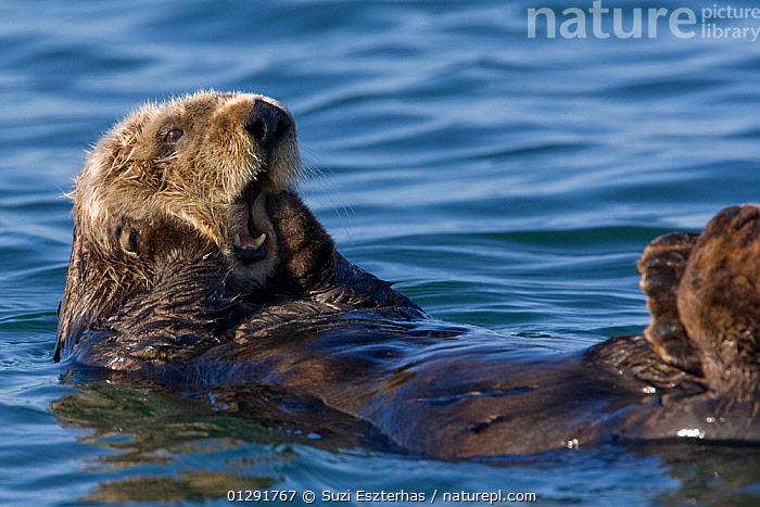 Southern Sea Otter (Enhydra lutris) resting on sea surface, yawning, Monterey, California, USA  ,  BEHAVIOUR,CARNIVORES,COASTAL WATERS,ENDANGERED,floating,HUMOROUS,MAMMALS,MARINE,OTTERS,resting,SURFACE,USA,VERTEBRATES,Concepts,North America,Mustelids  ,  Suzi Eszterhas