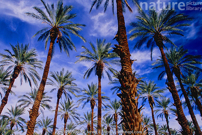 A Date palm (Phoenix dactylifera) plantation in the Coachella Valley near the Salton Sea. More than 90 percent of the dates produced in the United States are grown in this region, using Colorado River water transported from the river by the All-American Canal and Coachella Valley Canal. January 2008.  ,  AGRICULTURE,ARECACEAE,catalogue3,cloudy,Coachella Valley,FRUIT,full frame,Irrigation,LANDSCAPES,low angle view,MONOCOTYLEDONS,nature,Nobody,outdoors,PALMS,plantation,PLANTS,repetition,SKY,tree trunk,treetrunk,USA,WATER,North America  ,  Jenny E. Ross
