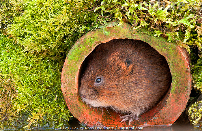 Water Vole (Arvicola terrestris) in terracotta pipe by water�s edge. Captive. Devon, UK. April 2010., CLOSE UPS,CUTE,MAMMALS,MOSS,PORTRAITS,RIVERS,RODENTS,VERTEBRATES,VOLES,WATER,Muridae, Ross Hoddinott
