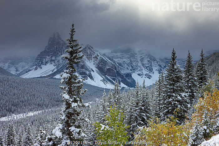 The Valley of the Ten Peaks, after recent snowfall, Banff National Park, Alberta, Canada. October 2009, Alberta,ATMOSPHERIC,Banff National Park,CANADA,CATALOGUE2,FIR TREE ,FORESTS,hillside,LAKES,LANDSCAPES,MOUNTAINS,nature,Nobody,NORTH AMERICA,NP,Ominous,outdoors,overcast,rockies,rocky mountains,Scenic,SKY,SNOW,snowfall,storm cloud,sunlight,TREES,treetop,valley,Valley of Ten Peaks,WEATHER,WINTER,National Park,PLANTS,,Canadian Rocky Mountain Parks World Heritage Site, UNESCO World Heritage Site,Rocky Mountains,Rockies,NP,Reserve,, David Noton