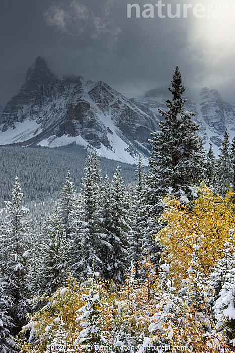 The Valley of the Ten Peaks, after recent snowfall, Banff National Park, Alberta, Canada. October 2009, Alberta,ATMOSPHERIC,Banff National Park,CANADA,CATALOGUE2,FIR TREE ,FORESTS,LAKES,LANDSCAPES,MOUNTAINS,nature,Nobody,NORTH AMERICA,NP,outdoors,overcast,rockies,rocky mountains,Scenics,SKY,SNOW,snowfall,sunlight,TREES,treetop,valley,Valley of Ten Peaks,VERTICAL,WEATHER,WINTER,YELLOW,National Park,PLANTS,,Canadian Rocky Mountain Parks World Heritage Site, UNESCO World Heritage Site,Rocky Mountains,Rockies,NP,Reserve,, David Noton