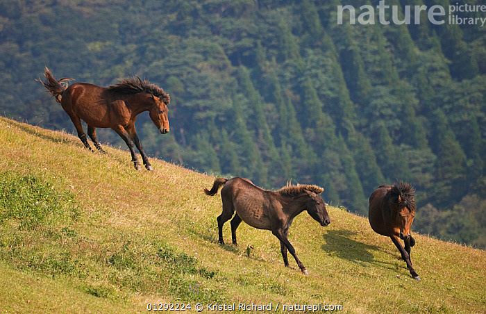 A wild Misaki-uma breeding stallion (right) brings back one of his mares to his band while another breeding stallion (left) charges him away, in the Cape Toi Reserve, Miyazaki Prefecture, Kyushu Island, Japan.  ,  AGGRESSION,animals in the wild,ASIA,BEHAVIOUR,Cape Toi reserve,CATALOGUE2,chasing,competition,DOMINANCE,elevated view,female animal,FEMALES,FORESTS,gradient,GRASSLAND,hillside,HORSES,JAPAN,Kyushu Island,male animal,MALES,MAMMALS,mare,Miyazaki Prefecture,MOUNTAINS,nature,Nobody,outdoors,RESERVE,rivalry,RUNNING,stallion,TERRITORIAL,three animals,VERTABRATES,WILDLIFE,wildlife reserve  ,  Kristel Richard
