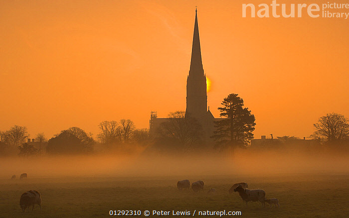 Sun rising through mist behind Salisbury Cathedral viewed across Harnham Water Meadows. Salisbury Wiltshire, England. March 2009, BUILDINGS,CATHEDRALS,EUROPE,MEADOWLAND,MIST,ORANGE,PICTURESQUE,SHEEP,SUN,TOWNS,UK,Grassland, United Kingdom, Peter Lewis