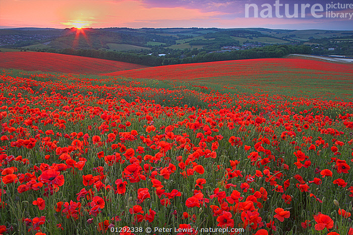 Sunset over fields of Common poppies (Papaver rhoeas) South Downs, West Sussex, England. June 2009, bright colour,CATALOGUE2,COUNTRYSIDE,DICOTYLEDONS,ENGLAND,Field,fields,hillside,horizon,horizon over land,LANDSCAPES,MEADOWLAND,nature,Nobody,outdoors,PAPAVERACEAE,PLANTS,RED,rolling landscape,Scenics,south downs,SUN,SUNSET,UK,West Sussex,Europe,Grassland,United Kingdom, Peter Lewis