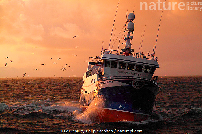 """North Sea fishing trawler """"Ocean Harvest"""", May 2010. Property released.  ,  BIRDS,CHOPPY,FISHING BOATS,FRONT VIEWS,GULLS,HEELING,SUNSET,TRAWLERS,BOATS, WORKING-BOATS ,core collection xtwox  ,  Philip Stephen"""